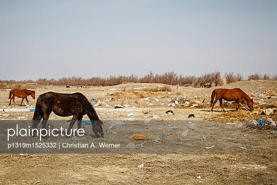 Wildpferde bei der Futtersuche - p1319m1525332 von Christian A. Werner