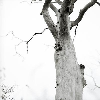 Gnarled tree - p1186m972796 by Christine Henke