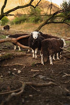 Sheep - p1477m2038959 by rainandsalt