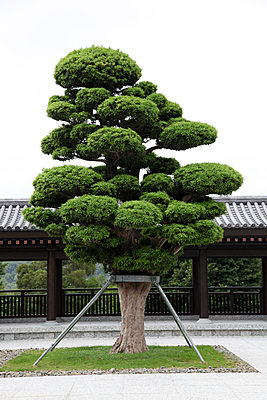 Japanese Tree in the near of a Temple  - p664m2007844 by Yom Lam