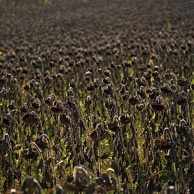 Ripe sunflowers - p8130159 by B.Jaubert