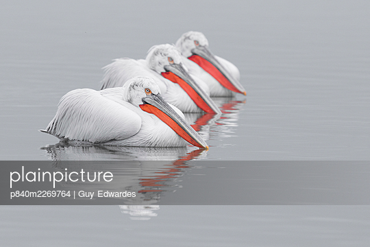 Dalmatian pelicans (Pelecanus crispus) group, Lake Kerkini, Greece - p840m2269764 by Guy Edwardes