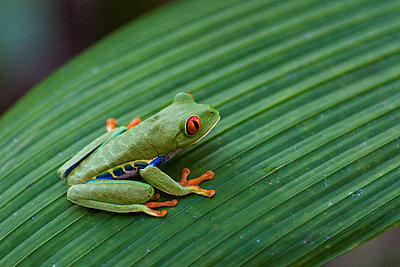 Red-eyed tree frog - p162m1025638 by Beate Bussenius