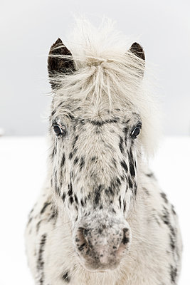 Black and white horse on snow - p352m2120089 by Åke Nyqvist