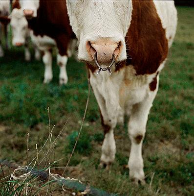 Heifer Wearing A Weaning Ring, Auvergne, France - p1028m767049 von Jean Marmeisse