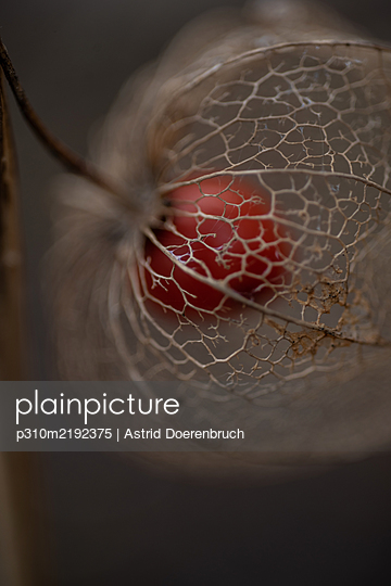 Chinese lantern plant in autumn - p310m2192375 by Astrid Doerenbruch