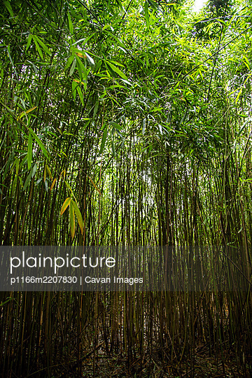 Thick Green Bamboo Forest in Hana Hawaii - p1166m2207830 by Cavan Images