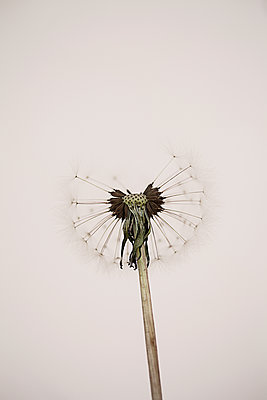 Dandelion clock in studio - p1470m1541294 by julie davenport