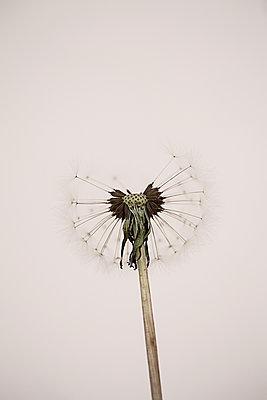 Dandelion clock in studio - p1470m1541294 by julie davenport