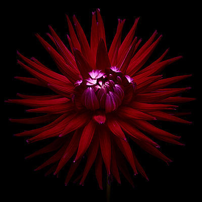Dahlia blossom in dark red shades - p587m2115480 by Spitta + Hellwig