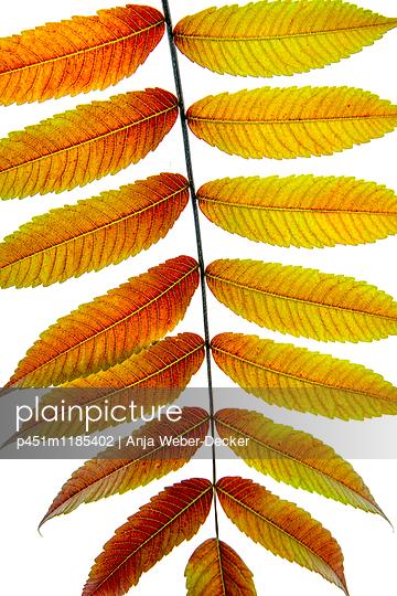 Blütenblatt, Essigbaum - p451m1185402 von Anja Weber-Decker
