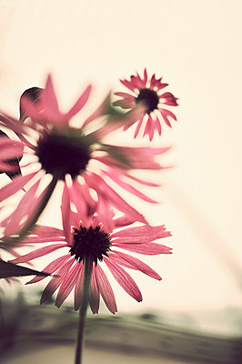 Echinacea - p1047m814762 by Sally Mundy