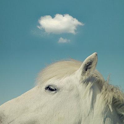 Head of a white horse - p1240m2063327 by Adeline Spengler