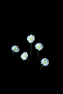 Five small white flowers against black background - p1248m2278944 by miguel sobreira