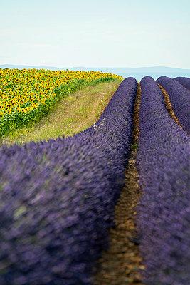 Lavendelfeld und Sonnenblumen, bei Valensole, Plateau de Valensole, Alpes-de-Haute-Provence, Provence, Frankreich - p1316m1161012 von Daniel Schoenen
