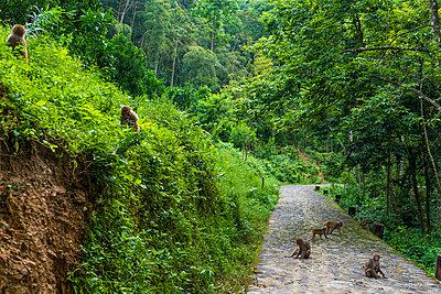 China, Fujian Province, monkeys on a path in Niumu forest - p300m2029791 by Kike Arnaiz