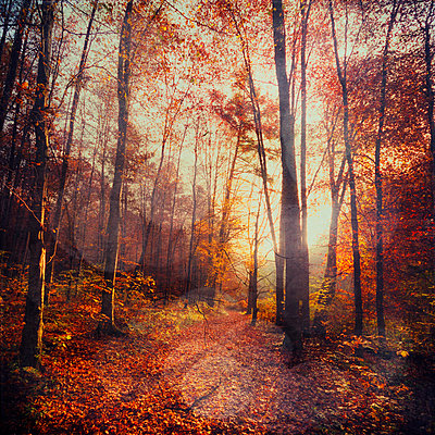 Germany, Wuppertal, deciduous forest in autumn against the sun - p300m926392f by Dirk Wüstenhagen