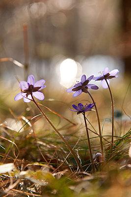 Anemonen im Gegenlicht - p533m1474829 von Böhm Monika