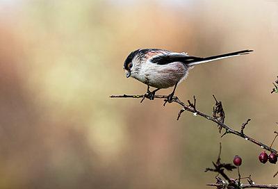 Long-tailed tit, Aegithalos caudatus, autumn portrait. The bird sits on a branch on a uniform background - p1166m2236688 by Cavan Images