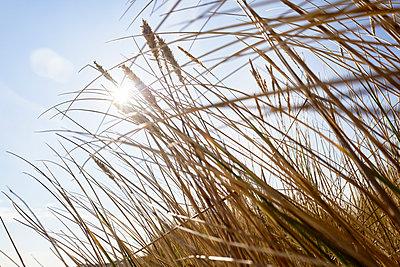 Marram grass at sunlight - p1203m1578227 by Bernd Schumacher