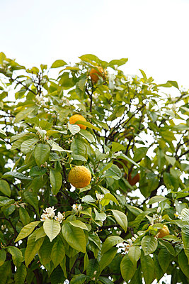 Lemon tree - p249m891150 by Ute Mans