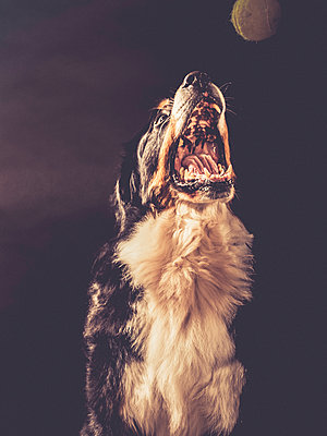 Bernese mountain dog - p299m1138431 by Silke Heyer