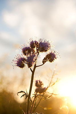 Phacelia blossom at sunrise - p533m1573825 by Böhm Monika