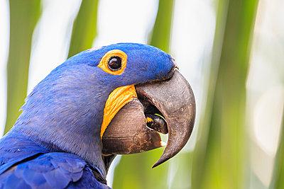 Brazil, Mato Grosso, Mato Grosso do Sul, Pantanal, hyazinth macaw, Anodorhynchus hyacinthinus - p300m981746f by Fotofeeling