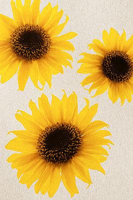 Sonnenblumen    - p450m1071653 von Hanka Steidle