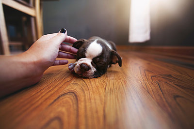 Woman's hand reaching out to pet sleeping Boston Terrier puppy - p924m1422816 by Rebecca Nelson