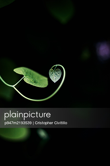 Climbing plant, heart-shaped leaf - p947m2193539 by Cristopher Civitillo