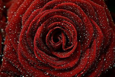 Rose - p1235m2044532 by Karoliina Norontaus