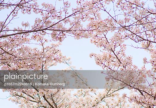 Kirschblüten - p1657m2248616 von Kornelia Rumberg