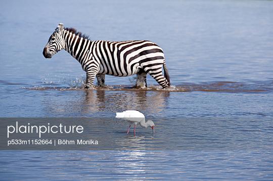 Zebra und Rosalöffler - p533m1152664 von Böhm Monika