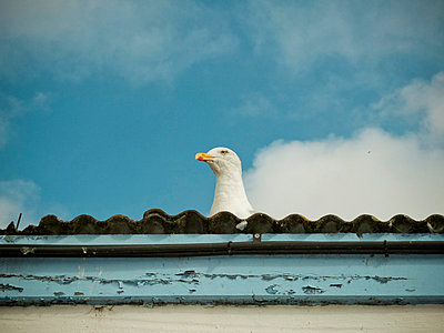 Seagull head peering over roof  - p1072m829244 by Neville Mountford-Hoare