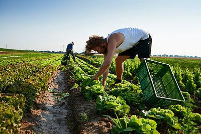 Biolandwirtschaft, Salate - p1203m1025898 von Bernd Schumacher