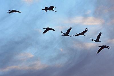 Sieben Kranich fliegen durch bewölkten Himmel in der blauen Stunde - p235m2021760 von KuS