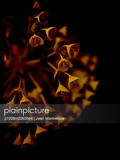 Mediterranean spurge flowers (Euphorbia characias) - p1028m2263944 by Jean Marmeisse
