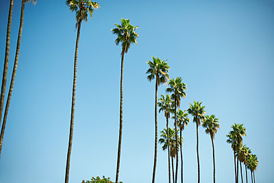 Row of tall palm trees, Los Angeles, USA - p924m1135998f by Peter Muller