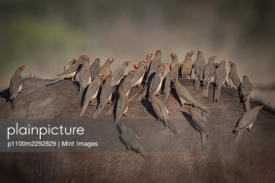 Red billed oxpeckers, birds perched on a buffalo - p1100m2292829 by Mint Images