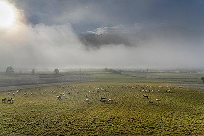 Schafherde im Morgennebel, Kärnten, Österreich - p1437m2260686 von Achim Bunz
