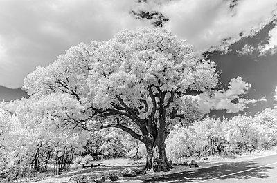 Europäischer Zürgelbaum, Celtis australis - p1463m2192633 von Wolfgang Simlinger