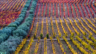 Colourful foliage on vines in a vineyard, Douro Valley; Portugal - p442m2111498 by Keith Levit