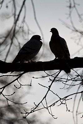 Two pigeons on a tree - p7390149 by Baertels