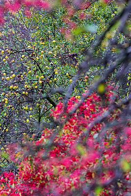 Reife Äpfel - p739m852384 von Baertels