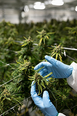 Grower inspecting cannabis plant - p1192m2073901 by Hero Images