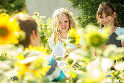School children examining sunflower field - p300m2160357 von Fotoagentur WESTEND61
