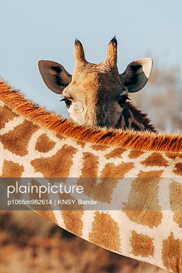 Eine Giraffe in der Savanne, Kalahari, Südafrika - p1065m982614 von KNSY Bande