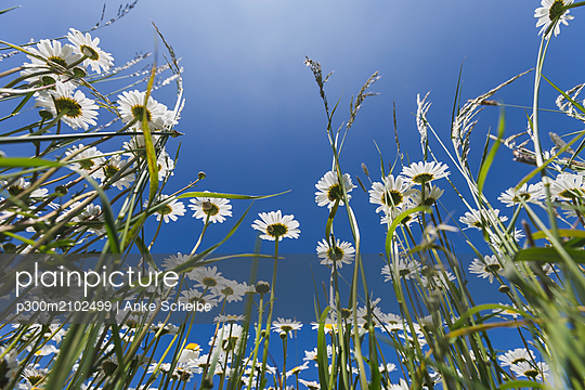 White marguerites against blue sky - p300m2102499 by Anke Scheibe