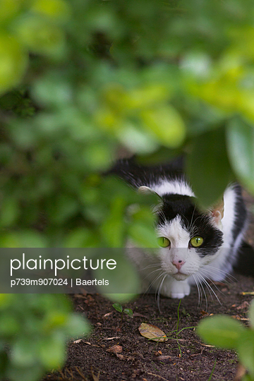 Cat under a bush - p739m907024 by Baertels